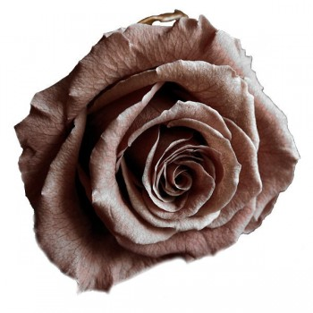 Preserved Noisette Standard Rose Head