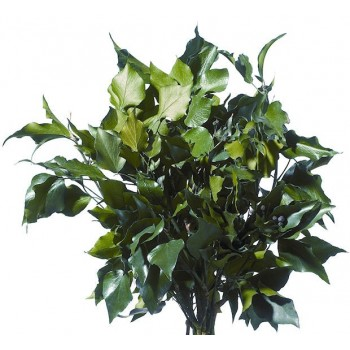 Preserved Green Hedera Arborea Green, Non Fruited