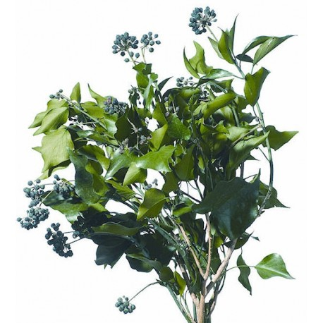 Preserved Green Fruited Hedera Arborea Ivy