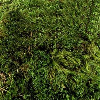Preserved Flat Moss