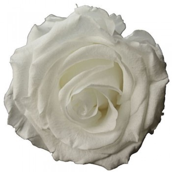 Preserved Roses - White Queen Rose Head, set of 6