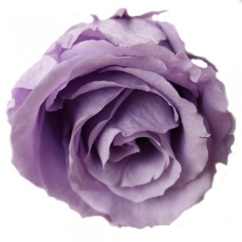 Preserved Rose Head in Lilac Tones, Queen Size