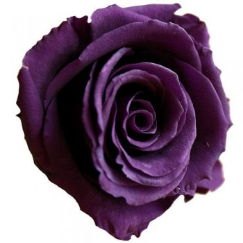 Preserved Rose in Purple, Standard Size, Set of 6 Heads
