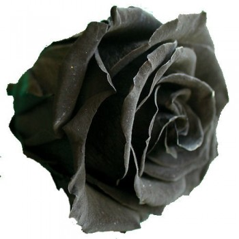Preserved Rose Heads in Black - Size Queen, Set of 6 Rose Heads
