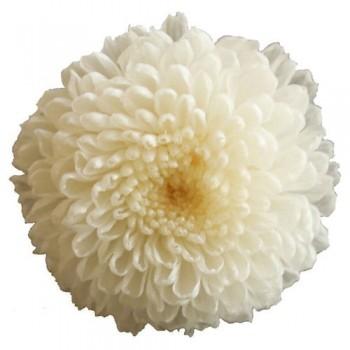 Preserved Flowers - Cream Pom Pom Heads