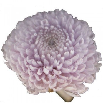 Preserved Flowers - Soft Lilac Pom Poms
