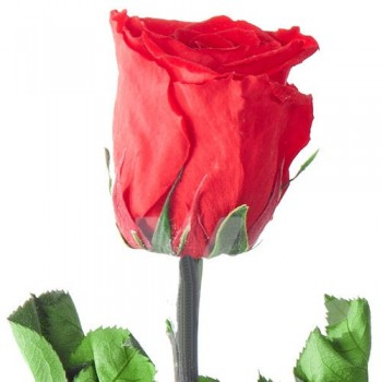 Preserved Roses - with a Long stem, case of 20