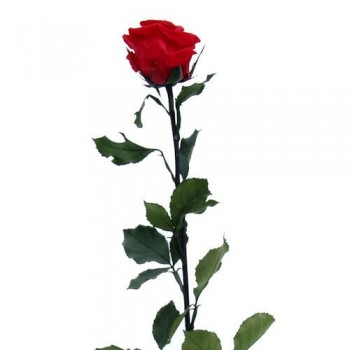 Preserved Red Rose with Long Stem and Super Size Head, case of 12