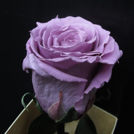 Preserved Roses with Long Stem and Lilac Head, 30 per case