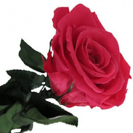Preserved Roses in Hot Pink with Long Stems, case of 30