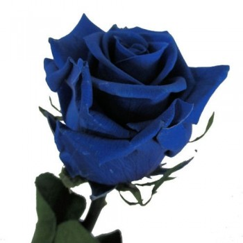 Preserved Roses with Long Stems and Blue Heads, supplied in case of 30 stems
