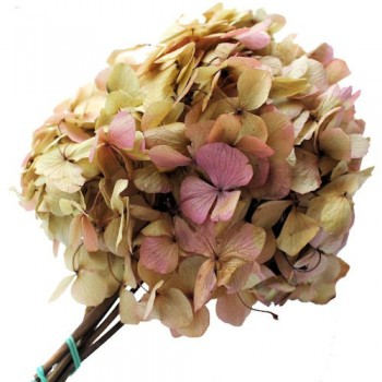Preserved Flowers - Cream Pink Bi Colour hydrangea Head