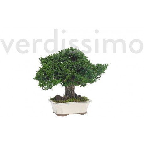 Preserved Juniperus Bonsai 25cm