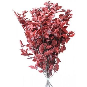 Pitosporum Red