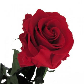 Preserved Red Amorosa Roses, supplied in a case of 30 stems in cellophane wraps