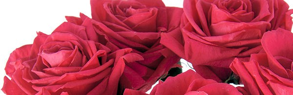 Create fantastic displays with Rose Heads or Long Stem Amorosa Roses