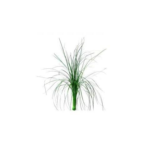 Green Preserved Bear Grass