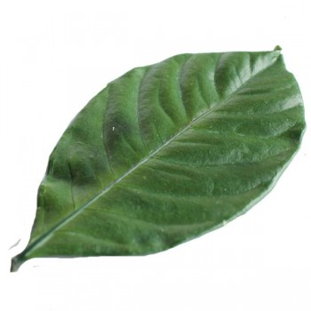 Preserved Gardenia Leaf - Top
