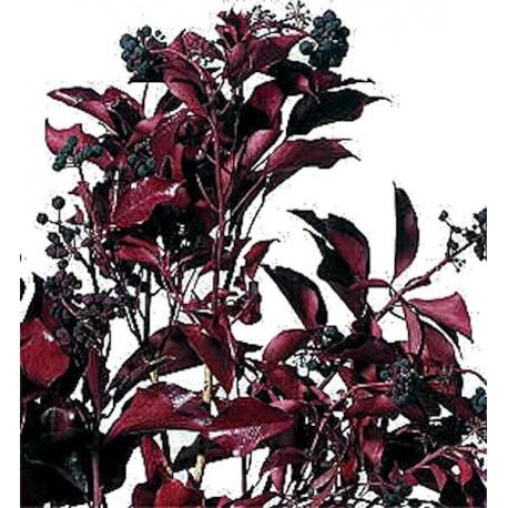 Preserved Red Fruited Hedera Arborea Ivy