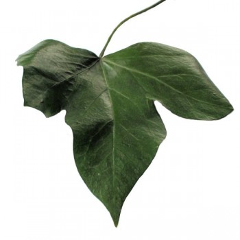 Perserved Hedera Ivy Leaf, Pack of 10