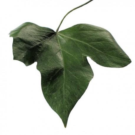 Perserved Hedera Ivy Leaf, Pack of 10