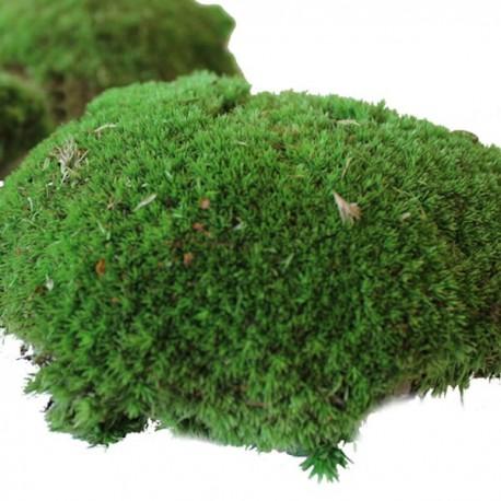 Preserved Bun Moss