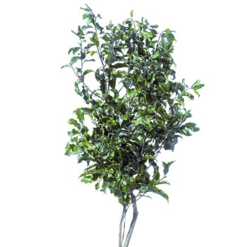 Preserved Pitosporum with Tonal Green Leaves