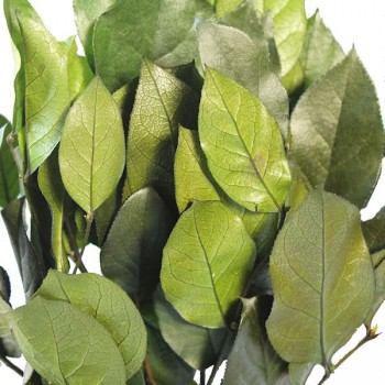 Preserved Salal Branches with leaves, close up image