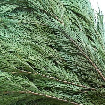 Preserved Thuja Close up (Conifer)