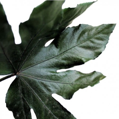 Close up details Preserved Aralia Leaf