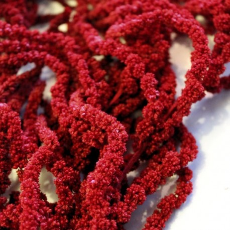 Preserved Burgundy Amaranthus, ideal for Christmas Displays