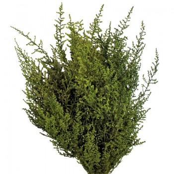 Green Stoebe