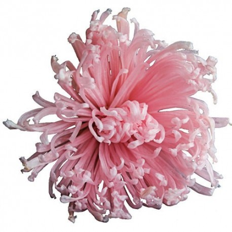 Preserved Flower Heads - Pink Anastasia