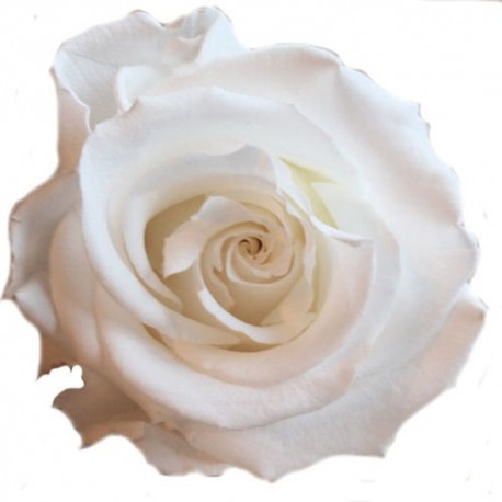 Preserved Roses - White Standard Rose Head, set of 6