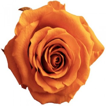 Preserved Roses - Saffron coloured Queen Rose Head