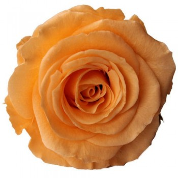 Preserved Rose - Peach Queen, Set of 6 Heads