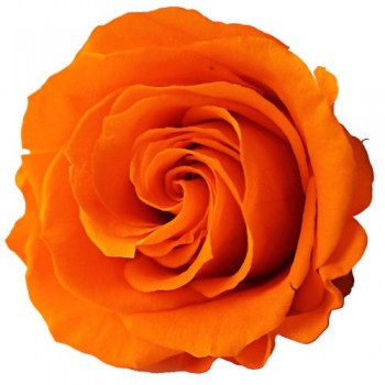 Preserved Rose Head - Orange Queen