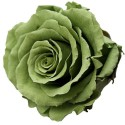 Green Tea Rose Heads