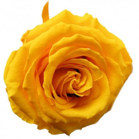 Preserved Rose in Daffodil Yellow, Queen Size
