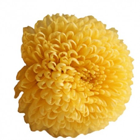 Preserved Flowers - Yellow Pom Poms