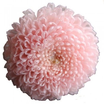 Preserved Flowers - Pink Pom Pom Head