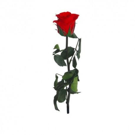 Preserved Rose in Red, The Mini Amorosa Rose (Tube) 25