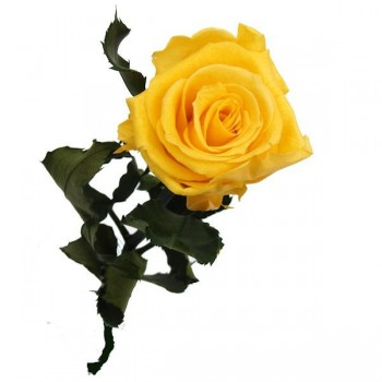 Preserved Roses with a Long Stem and Warm Yellow Flower Head, Case of 30