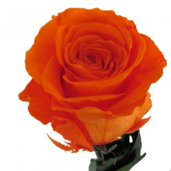 Preserved Roses with Long Stems and Orange Heads, case of 30