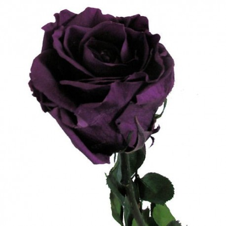 Preserved Roses with Long Stems and Purple Heads, case of 30