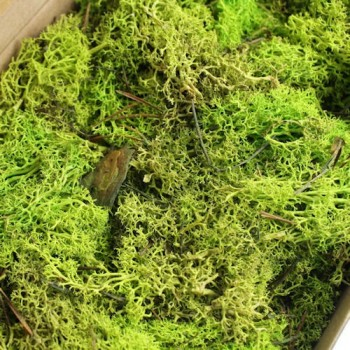 Preserved Reindeer Moss, Light Green. 500 gr box