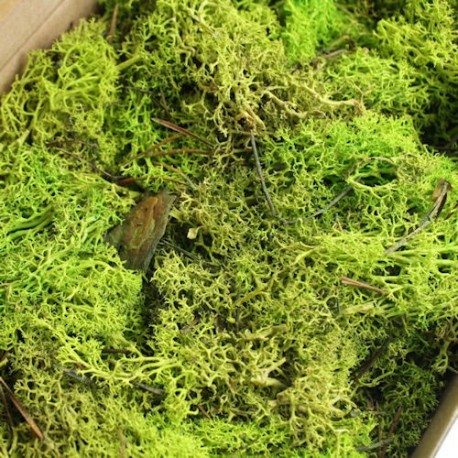 Preserved Reindeer Moss, Light Green. 500 gr box