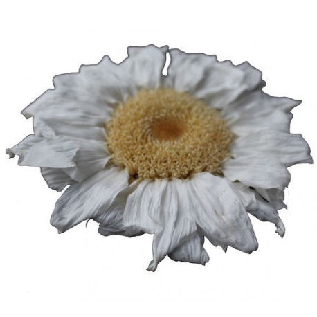 Preserved Flowers - White Sunflower Head (1 Head)