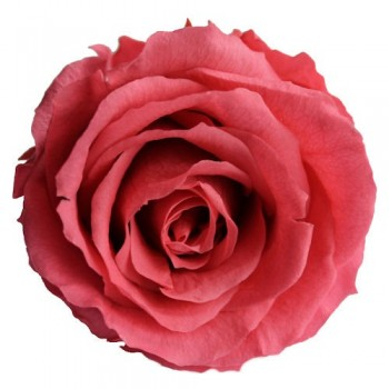 Preserved Rose Head in Hot Pink, Queen Size