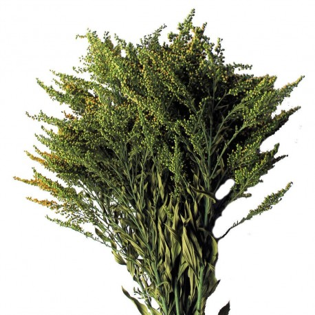 Preserved Foliage - Green Solidago